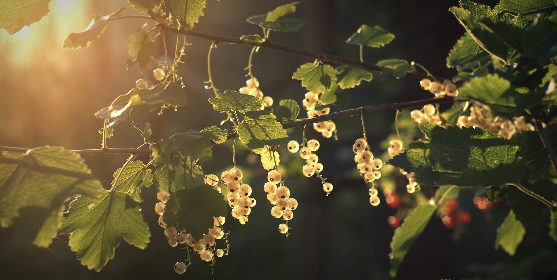 vente-conseils-arbustes-fruitiers